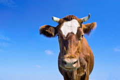Brown cow portrait Stock Photos