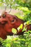 Brown cow Stock Photography