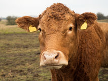 Brown cow portrait front Royalty Free Stock Image