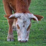 The brown cow portrait in the meadow stock photography