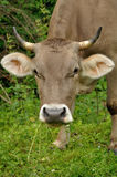 Brown cow portret with grass Stock Image