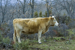 Brown cow in a praire. Brown cow in the Paular Valley in Spain stock images