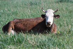 Brown Cow is resting Stock Photo