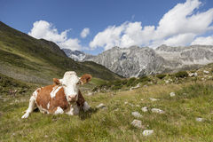 Brown cow resting on mountain pasture. Royalty Free Stock Image