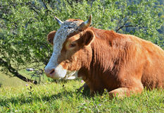 Brown cow resting Stock Image