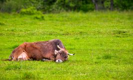 Brown cow rests on a grassy meadow. Cute animal emotion, act like a cat royalty free stock images