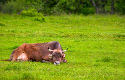 Brown cow rests on a grassy meadow. Cute animal emotion, act like a cat royalty free stock image