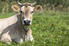 Brown cow rests in the green field Royalty Free Stock Photography