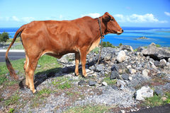 Brown cow by the roadside. Image of a brown cow against a blue sky backdrop, Rodrigues Island, Mauritius royalty free stock photography