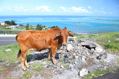 Brown cow, Rodrigues Island. Image showing a brown cow tied by the roadside, on the tropical island of Rodrigues, Mauritius stock image