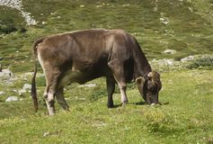 Brown cow ruminate in the grass Royalty Free Stock Images