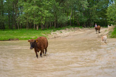 Brown cow in a small river royalty free stock images