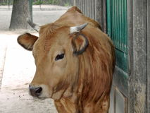 Brown cow before stall Royalty Free Stock Photos