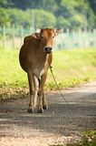 Brown cow stand on the road Royalty Free Stock Photos