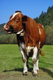 Brown cow standing Stock Images