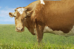 Brown Cow Standing In Field Royalty Free Stock Photo