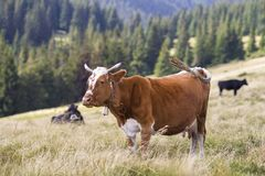 Brown cow standing in green grass on sunny pasture field bright background. Farming and agriculture, milk production concept.  royalty free stock photo