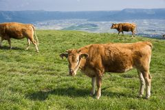 Brown cow standing. On green grassland in Aso, Kumamoto Stock Photos