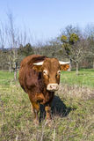 Brown cow standing on green meadow on blue sky background Royalty Free Stock Photos