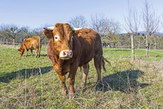 Brown cow standing on green meadow on blue sky background Stock Images
