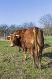 Brown cow standing on green meadow on blue sky background Royalty Free Stock Photo