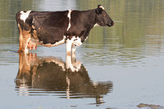 The brown cow standing in river Royalty Free Stock Image
