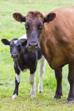 Brown cow stands together with black and white calf Royalty Free Stock Photo