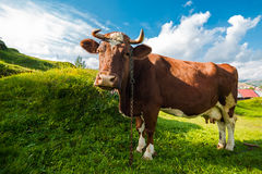 Brown cow. At summer green field Stock Image