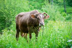 Cow grazes on a mountain meadow. Brown cow on a summer pasture in the Carpathian Mountains near a rural house stock photos