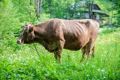 Cow grazes on a mountain meadow. Brown cow on a summer pasture in the Carpathian Mountains near a rural house royalty free stock image