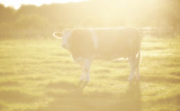 Brown cow in sunbeam. A hazy soft focus image of a cow caught in sundown sunbeam stock photography