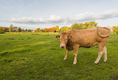 Brown cow wagging its tail Royalty Free Stock Photo