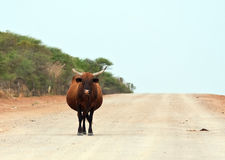 Brown cow walking along a dirt road Royalty Free Stock Photo