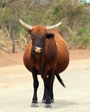 Brown cow walking along a dirt road Royalty Free Stock Images