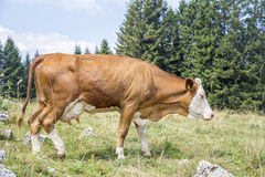 Brown cow walking on an alpine pasture Stock Photos