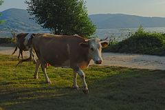 Brown cow walking on a path on the embankment of river Danube in evening sunlight stock photos