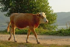 Brown cow walking on a path on the embankment of river Danube stock photos