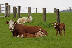 Brown cow with white face and young calf. In Germany, Europe Royalty Free Stock Photo