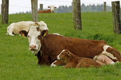Brown cow with white face and young calf Stock Photography