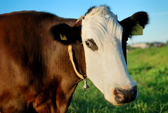 Brown cow with white muzzle Stock Photography