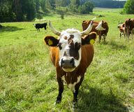 Brown cow with white muzzle Royalty Free Stock Image