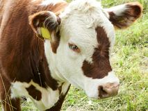 Brown cow with white muzzle Stock Photo