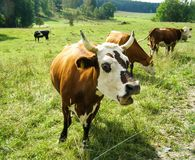 Brown cow with white muzzle Royalty Free Stock Photos