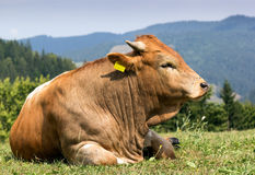 A brown cow with white spots standing on pasture Stock Image