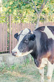Brown cow with white spots  on white background Royalty Free Stock Images