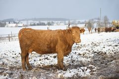 The brown cow in the winter during snowing. The breed is Salers Stock Photos