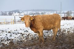 The brown cow in the winter during snowing. The breed is Salers Royalty Free Stock Photography