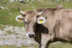 A brown cow Royalty Free Stock Images