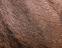 Brown cowhide wool. As a texture royalty free stock photos