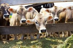 Brown Cows Stock Photos